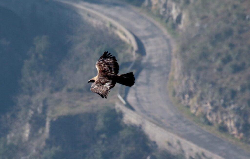 Un' aquila reale vola su un tratto del Tracciolino
