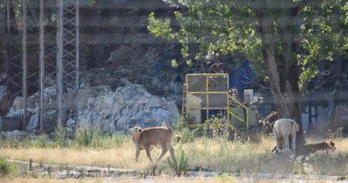 Mucche al pascolo intorno all'ex impianto di Sant'Elia Fiumerapido