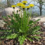 Una pianta di tarassaco